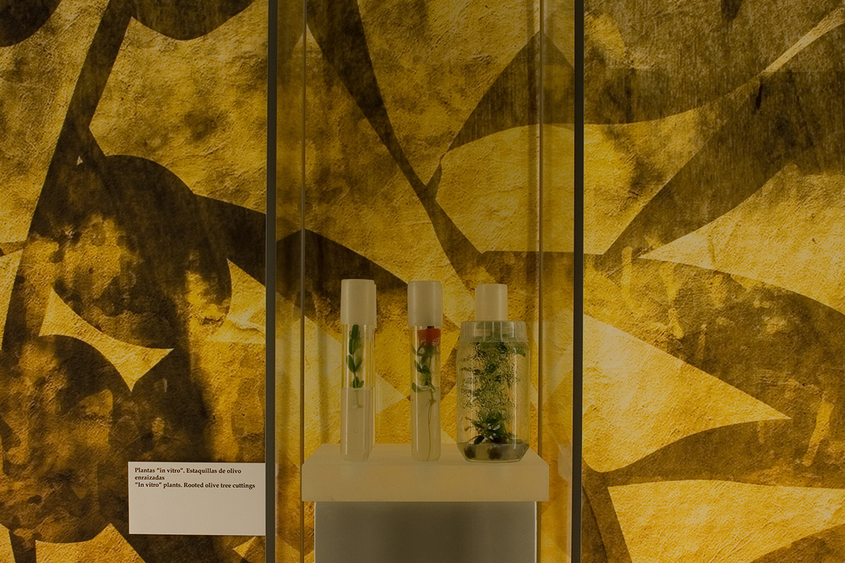 "Display case containing ""in vitro"" plants. Rooted olive plants. Jaén. Lands of Olive Groves. The olive tree... present and future."